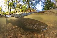 Chinook Salmon<br /> <br /> Sean Landsman/Engbretson Underwater Photography