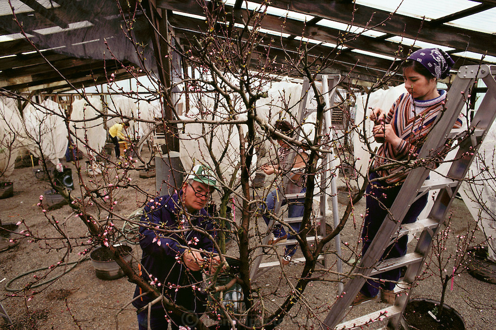 Floyd Zaiger, with two women workers on ladders, emasculate blossoms in the Zaiger's greenhouse. Flower petals and buds are removed to leave the pistol exposed, which is then hand-pollinated with brushes or cotton swabs. Blossoms are collected by hand from specific trees in the orchards and pollen is extracted from them by cutting the flower up with small scissors and sifting the parts. The pollen goes into a small plastic bottle that is numbered and stored in ice chests. Many trees are grown in barrels that are moved into the greenhouse to be worked on or to speed up or slow down pollination and development. Floyd Zaiger (Born 1926) is a biologist who is most noted for his work in fruit genetics. Zaiger Genetics, located in Modesto, California, USA, was founded in 1958. Zaiger has spent his life in pursuit of the perfect fruit, developing both cultivars of existing species and new hybrids such as the pluot and the aprium. -MODEL RELEASED. 1983.