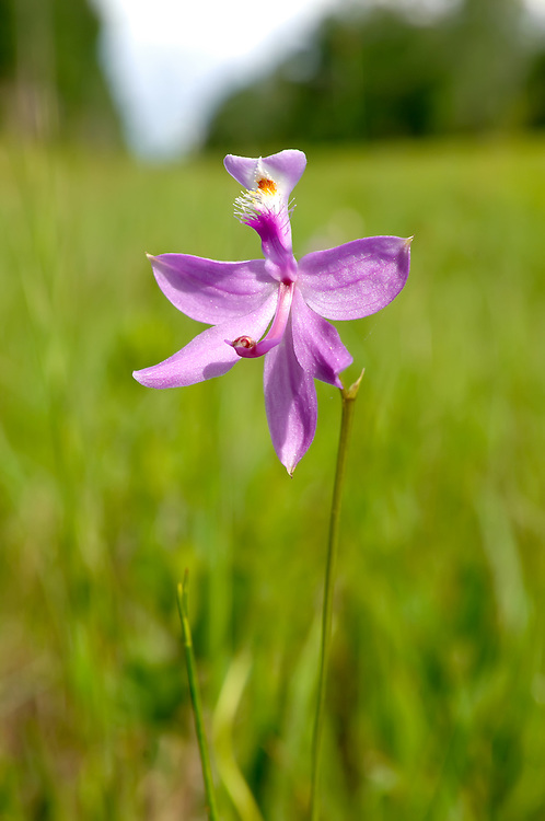 Roadsides are great places to find grass-pink orchids in Goethe State Forest, Florida.