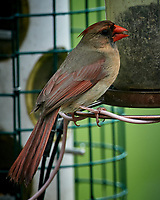 Northern Cardinal. Image taken with a Nikon D5 camera and 600 mm f/4 VR lens (ISO 1000, 600 mm, f/5.6, 1/1250 sec)