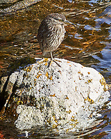 Black-crowned Night-Heron (Nycticorax nycticorax). Image taken with a Leica T camera and 18-56 mm lens.