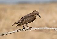 Spotless Starling - Sturnus unicolor