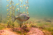 Black Crappie (Male on nest)<br /> <br /> Roger Peterson/Engbretson Underwater Photography