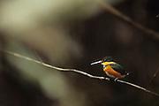 Pygmy Kingfisher (Chloroceryle aenea) - Amazonia, Peru