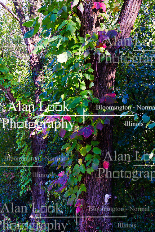 30 August 2014:  colorful leaves on tree in northern Illinois in late summer