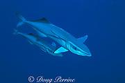 sharksuckers, or remoras, Echeneis naucrates, Bahamas ( Western Atlantic Ocean )