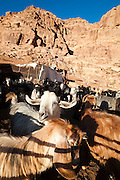 A herd of goats at a Bedouin encampment in Wadi Rum, Jordan.