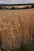 Wheat fields near Wurzburg, Germany.