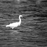 A black and white telephoto image of a Little Egret in a marsh in Tayrona National Park in Colombia.