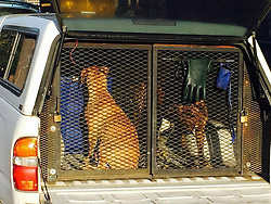 September 1, 2017 - USA - Pit bull dogs involved in the attack on Sanjuana Garibay in April 2016 in a Fresno alley sit in the back of an animal control truck. The dogs were euthanized a short time later. (Credit Image: © Jim Guy/TNS via ZUMA Wire)