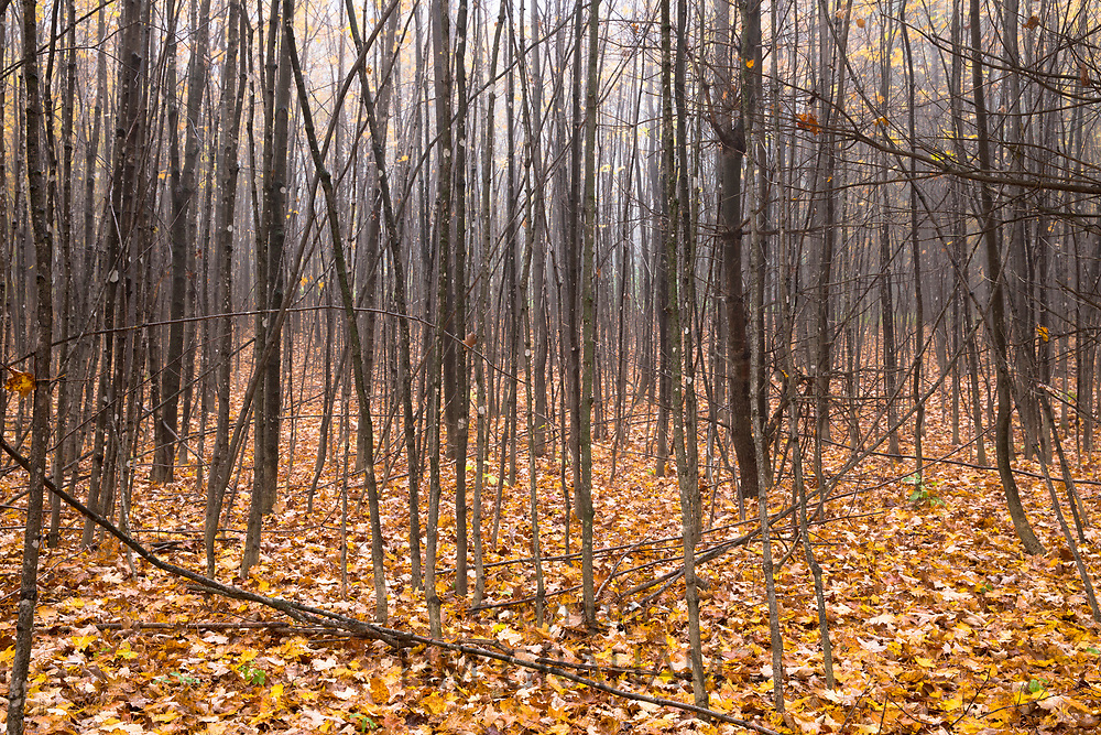 Fallen leaves and bare slim tree trunks during The Fall in Vermont, New England, USA