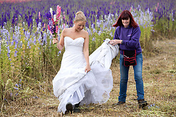 © Licensed to London News Pictures. 30_07_2015. Hurley Common, North Warwickshire, UK. When brides bought confetti petals made from delphiniums for their wedding day they started asking if they could pose in the fields where they had been grown. Now owner LILIAN (correct) SYKES welcomes brides to her farm on a regular basis to have pictures taken wearing their wedding dresses. Pictured, bride NICKI CLAYBROOK, left, dons wellies to go amongst the colourful flowers grown for their petals and dried flower bouquets to have her picture taken. LILIAN purchased the derelict farm five years ago and had the idea of growing delphiniums to the surprise of local farmers. Last year LILIAN produced millions of confetti petals in eight different colours from her eight acres of flower fields. The petals and dried flowers found their way into major high street retailers as well as being sold online. Photo credit: Dave Warren/LNP