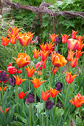 Tulipa 'Brown Sugar', T. 'Orange Favourite', and T. 'Ballerina' with Tulip 'Queen of Night'