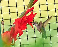 Ruby-throated Hummingbird.  Image taken with a Leica SL2 camera and 90-280 mm lens.