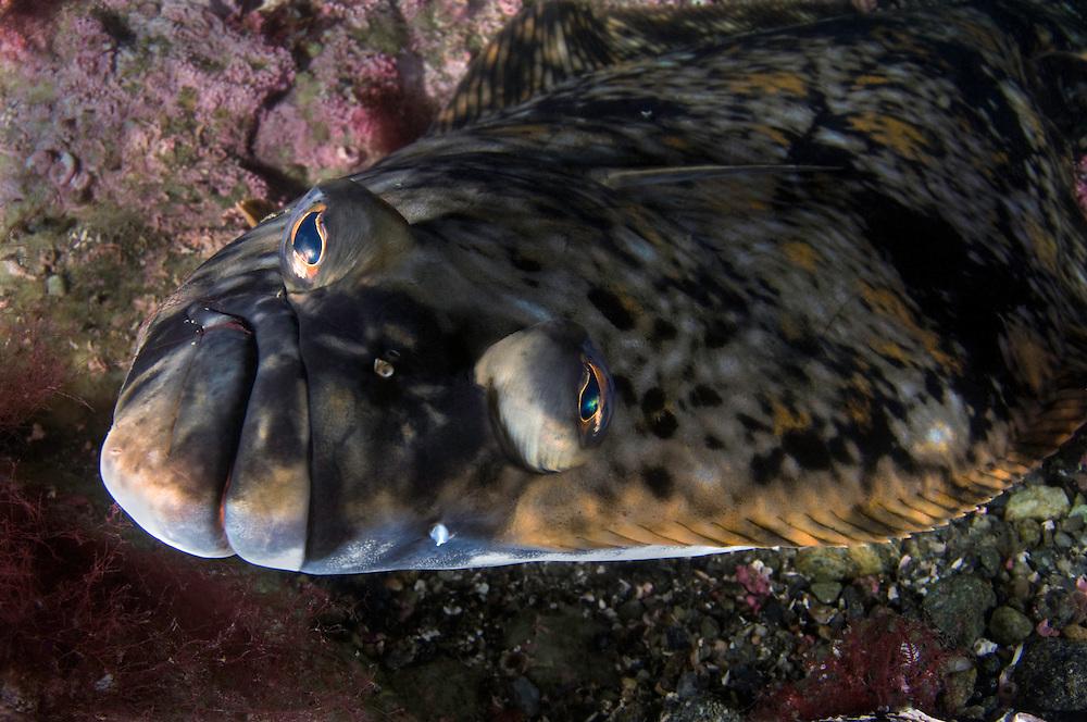 Atlantic halibut, Hippoglossus hippoglossus<br /> Atlantic marine life, Saltstraumen, Bodö, Norway