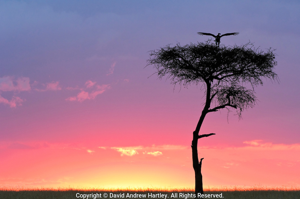 Lappet-faced Vulture (Torgos tracheliotus) touching down on an Acacia Tree, Masai Mara National Reserve, Kenya