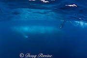underwater photographer and<br /> blue whale ( Balaenoptera musculus )<br /> Endangered Species<br /> California ( Eastern Pacific Ocean )