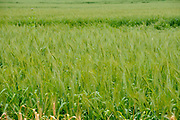Green Wheat stalks in an endless field. Photographed in Israel in April