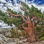 Bristlecone Pine - Big Sky Clouds Olmstead Point - Yosemite - HDR
