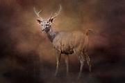 Sambar deer in Bandhavgarh, India