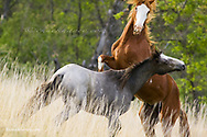 Wild horses fighting in Theodore Roosevelt National Park in North Dakota