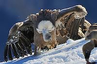 Griffon vulture; Gyps fulvus, Cebollar, Torla, Aragon, Spain.