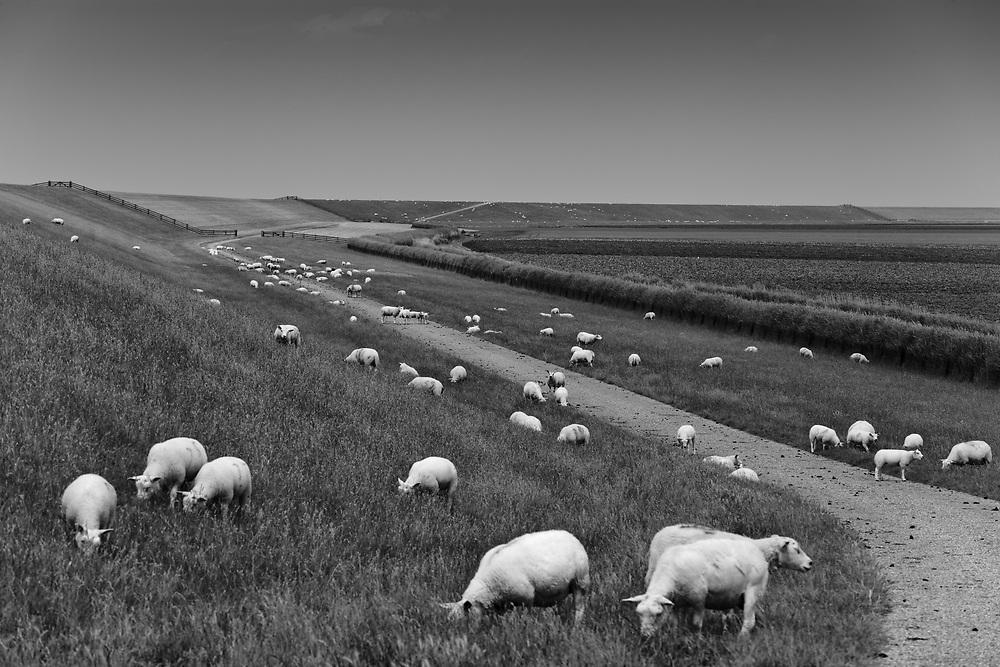 Sheep at the Waddenzee dike // Schapen bij de Waddenzeedijk, Westhoek.