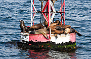 California Sea Lions Sunning on the Channel Marker