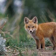 Red Fox, (Vulpus fulva) Portrait of young fox pup near den. Spring.
