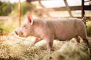 Megan Denton raises Yorkshire and Berkshire cross pigs on her small farm on Sauvie Island in Portland, Oregon.