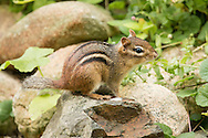 An eastern chipmunk pauses briefly in its search for food.