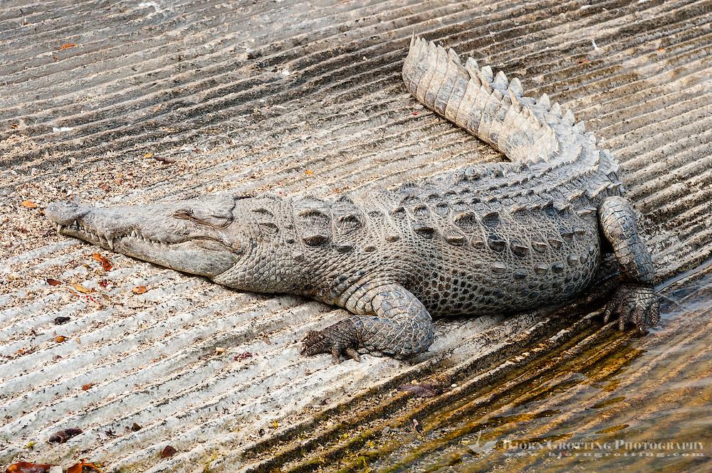 US, Florida, Everglades. American crocodile in Flamingo.