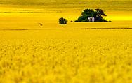 Amazing rapeseed field