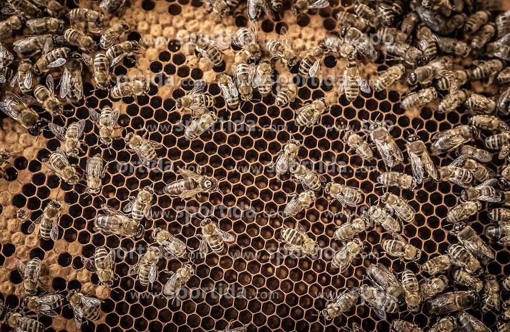 THEMENBILD - die Bienenkönigin wurde mit einem orangen Punkt markiert. Sie wird auch Weisel oder Stockmutter genannt und ist das einzige geschlechtsreife weibliche Tier im Volk der Honigbienen aufgenommen am 12. Juni 2019, Piesendorf, Österreich // the queen bee was marked with an orange dot. She is also called Weisel or Stockmutter and is the only sexually mature female among the honeybee colony on 2019/06/12, Piesendorf, Austria. EXPA Pictures © 2019, PhotoCredit: EXPA/ Stefanie Oberhauser