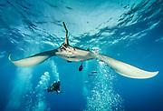 Giant Pacific Ocean Manta Ray in Revillagigedo (Socorro), MX