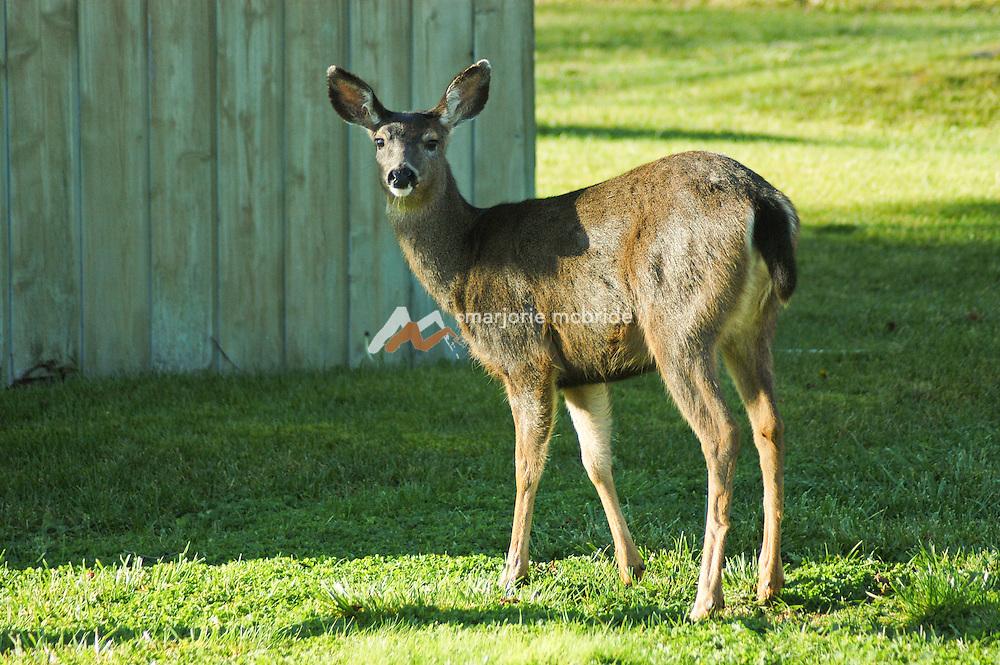 Deer feeding on grass at public park on Lummi Island, Washington, San Juan Islands, Pacific Ocean.