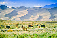 Mule deer (Odocoileus heminus) thrive at The Great Sand Dunes National Park, Colorado, USA.