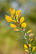 Western Gorse - Ulex gallii