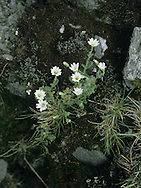 ALPINE MOUSE-EAR Cerastium alpinum (Caryophyllaceae) Height to 10cm. Tufted, mat-forming perennial whose stems and leaves bear long white hairs. Found on stony ground on mountains. FLOWERS are white and 18-25mm across, with 5 notched petals (Jun-Aug). FRUITS are capsules. LEAVES are ovate, the bracts having membranous margins. STATUS-Local and scarce, restricted to mountains from Snowdonia northwards.