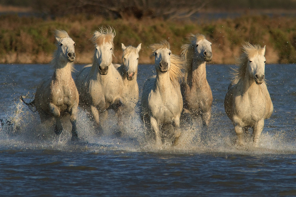 """White horses of Camargue France running free  through marshy areas and  splashing water.<br /> <br /> Available sizes:<br /> 12"""" x 18"""" print <br /> <br /> See Pricing page for more information. Please contact me for custom sizes and print options including canvas wraps, metal prints, assorted paper options, etc. <br /> <br /> I enjoy working with buyers to help them with all their home and commercial wall art needs."""