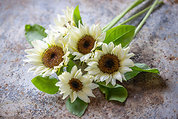 Helianthus 'ProCut White' - sunflowers