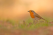European Robin (Erithacus rubecula) on the ground. Photographed in Israel in November
