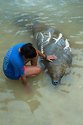 West Indian manatee (Trichechus manatus) <br /> Wildtracks<br /> Manatee Rehabilitation Center<br /> Sarteneja<br /> Belize,<br /> Central America<br /> Injured by boat propellor