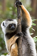 Diademed sifaka (Propithecus diadema)<br /> East Madagascar<br /> Mantadia National Park<br /> MADAGASCAR<br /> ENDEMIC<br /> Critically endangered
