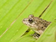Rice Paddy Frog, Fejervarya sp.