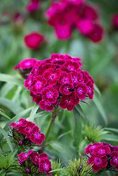 Dianthus barbatus F1 Dash Violet - Sweet William