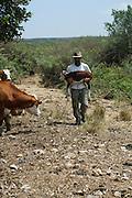 Beef cattle breeding In Israel, Mount Carmel Farmer caring for a newborn calf