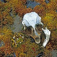 FRANZ JOSEF LAND, Russia. Seal skull at Cape Fiume on Champa Island in this Arctic Ocean archipeligo.