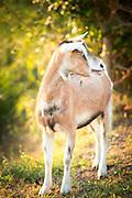 Goat on the Island of Sant'Erasmo, Venice, Italy, Europe