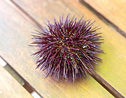 Sea Urchin, Paracentrotus lividus, alive on table, Atlantic Coast, Rogil, Algarve, Portugal, southern Europe